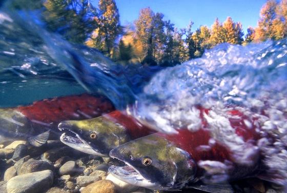 247_1ar_split_salmon2